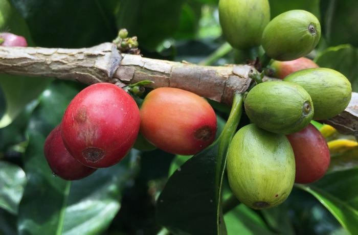 Coda Coffee Raw Bean